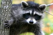 Miami Racoon Removal